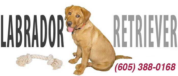 Labrador Retriever - Fox Red Lab Breeder